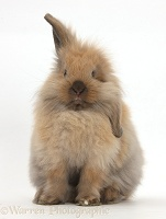 Windmill-eared Lionhead x Lop rabbit, sitting up