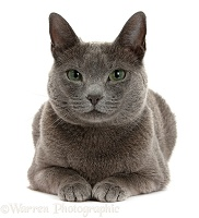 Russian Blue female cat with green eyes
