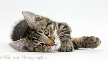 Tabby kitten lying on his side