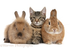 Tabby kitten and rabbits