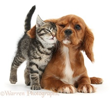 Cute tabby kitten rubbing against Ruby Cavalier Spaniel