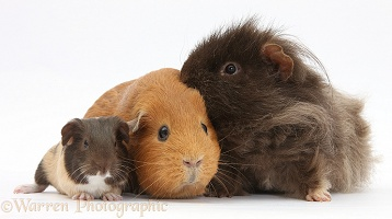 Mother and father Guinea pig with baby