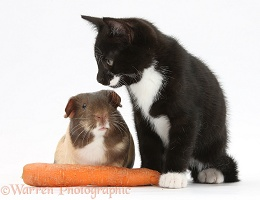 Black-and-white kitten and Guinea pig and carrot