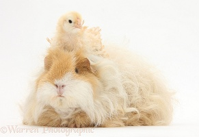Frizzle feather chicken chick and shaggy Guinea pig
