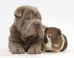 Shar Pei pup and Guinea pig