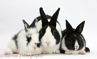 Dutch rabbit and black-and-white baby bunnies