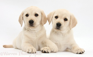 Yellow Labrador Retriever puppies
