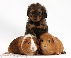 Black Daxiedoodle pup, 6 weeks old, and Guinea pigs