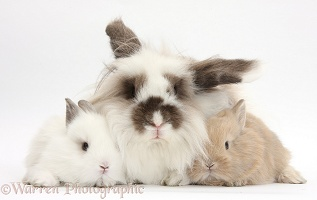 Fluffy rabbit and baby bunnies