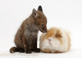 Red Fox cub and shaggy Guinea pig