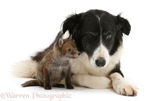 Red Fox cub and Border Collie