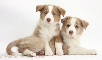 Two Lilac Border Collie pups, one paws over the other