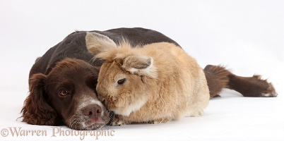 Chocolate Cocker Spaniel pup and rabbit