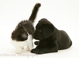 Black Labrador Retriever pup with black-and-white kitten