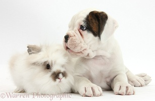 Boxer puppy and fluffy rabbit
