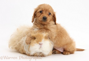 Red Daxiedoodle pup, 6 weeks old, and Guinea pig
