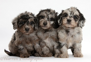Three cute black-and-grey merle Daxiedoodle pups
