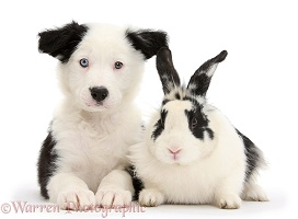 Border Collie pup and rabbit