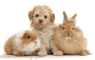 Toy Labradoodle with fluffy bunny and shaggy Guinea pig