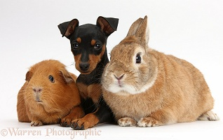Miniature Pinscher puppy, rabbit and Guinea pig