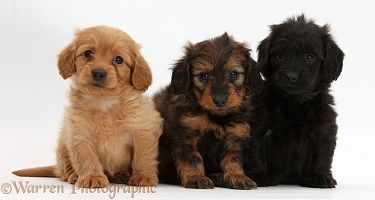 Three Daxiedoodle pups