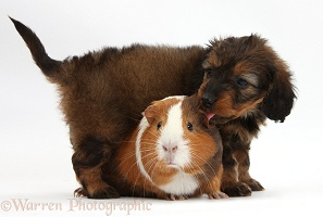 Black Daxiedoodle pup, 6 weeks old, and Guinea pig