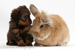 Daxiedoodle pup and rabbit