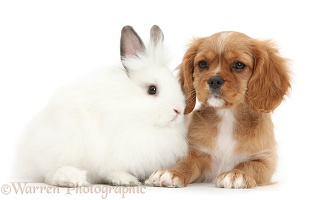 Ruby Cavalier pup and white bunny