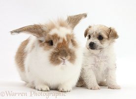 Cute Bichon x Yorkie pup and matching rabbit