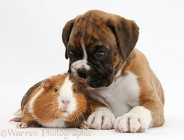 Boxer puppy and Guinea pig