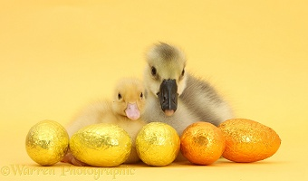 Yellow gosling and duckling with Easter eggs