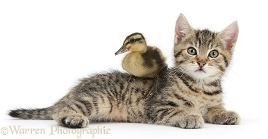 Cute tabby kitten with duckling