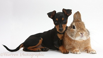 Miniature Pinscher puppy and rabbit