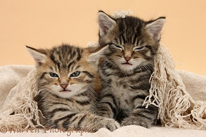 Cute tabby kittens, under a shawl