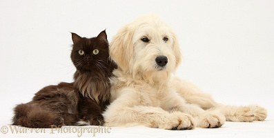 Goldendoodle and chocolate cat