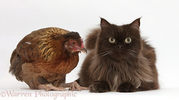 Chocolate cat and chicken