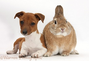 Jackahuahua pup and rabbit