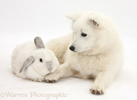 White Japanese Spitz dog and rabbit