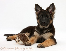 Alsatian pup and Guinea pig
