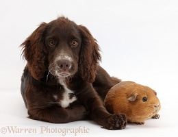 Chocolate Cocker Spaniel pup and Guinea pig