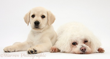 Bichon Frise and Yellow Labrador puppy