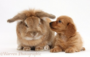 Red Daxiedoodle pup and rabbit