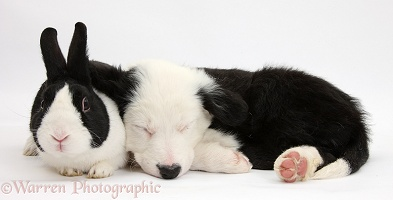 Seeping Border Collie pup and rabbit
