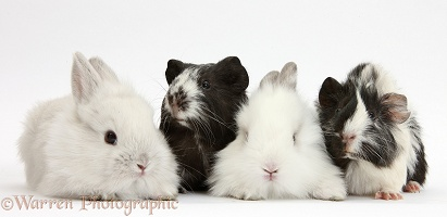 White rabbits and black-and-white Guinea pigs