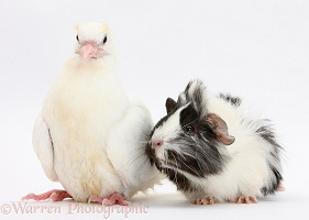 White dove and black-and-white Guinea pig