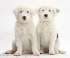 Mostly white Border Collie pups