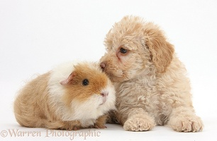 Toy Labradoodle puppy and shaggy Guinea pig