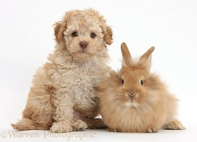 Toy Labradoodle and fluffy bunny