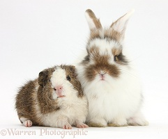 Young rabbit and frizzy Guinea pig
