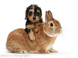 Daxiedoodle puppy and rabbit